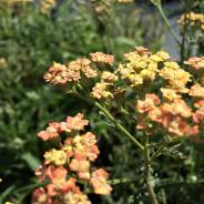 achillea peach seduction
